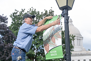 DES employee, Keith Peterson, hanging a banner that highlights the state tree - Western Hemlock - on the diagonal street of the Capitol Campus